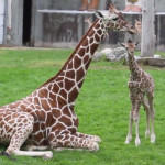 Baby Giraffe at the Detroit Zoo