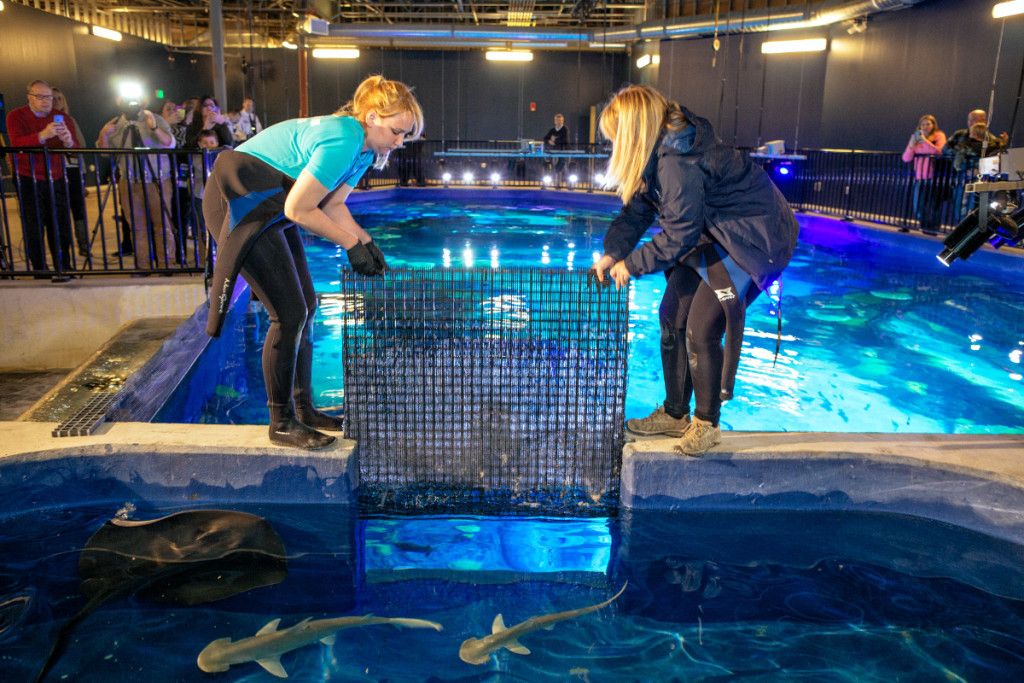 Releasing the sharks from the holding tank into the main exhibition